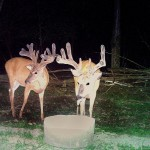Lowlands Whitetails Deer