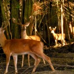 The Deer of Lowlands Whitetails Hunting Ranch