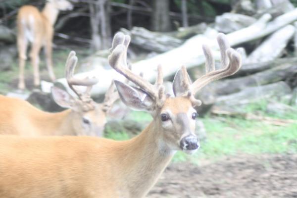 Lowlands Whitetails Breeder Deer